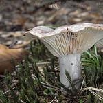 Lactarius flexuosus var. flexuosus - rýdzik hnedastosivý