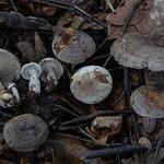 Lactarius fluens - rýdzik hnedozelený