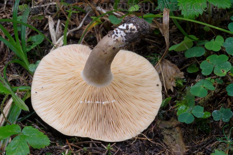 Lactarius fuliginosus - rýdzik hnedozamatový