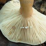 Lactarius fulvissimus - rýdzik hrdzavý
