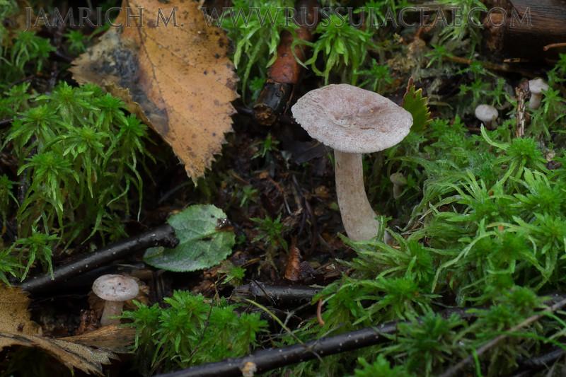 Lactarius glyciosmus - rýdzik voňavý