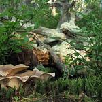 Lactarius helvus - rýdzik cigóriový
