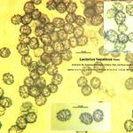 Lactarius hepaticus - rýdzik pečeňovohnedý