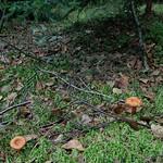 Lactarius hysginoides - rýdzik svetlohnedý