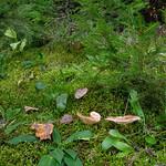 Lactarius hysginus - rýdzik mäsovočervenkastý