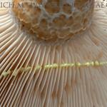 Lactarius intermedius - rýdzik jamkatý