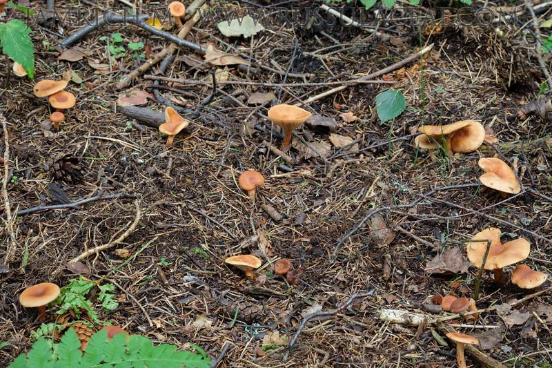 Lactarius lacunarum - rýdzik záplavový