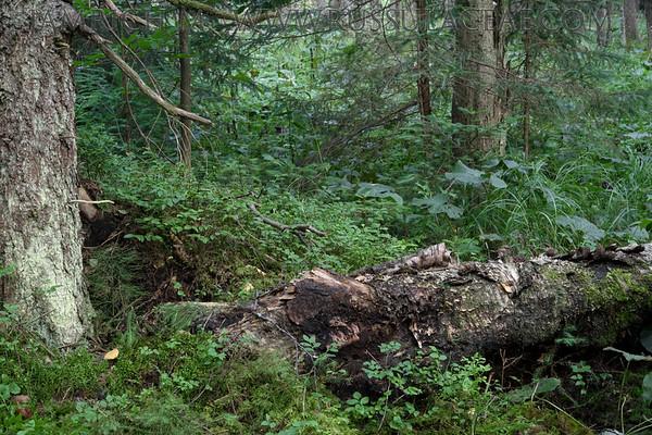 BIOTOP Lactarius leonis - rýdzik hrdzavejúci
