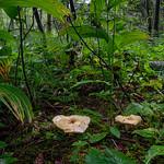 Lactarius leonis - rýdzik hrdzavejúci