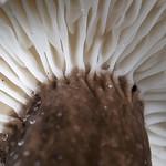 Lactarius lignyotus - rýdzik čiernozamatový