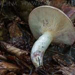 Lactarius luridus - rýdzik škvrnitý (citlivý)