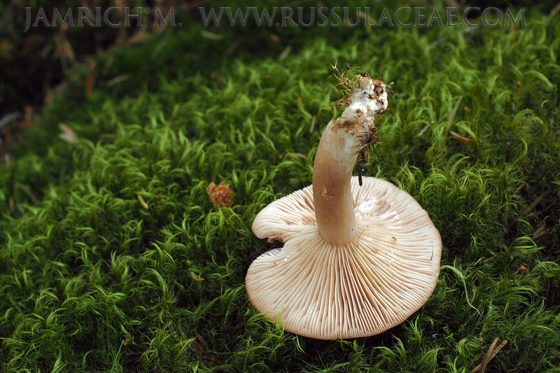 Lactarius mammosus - rýdzik kokosový