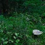 Lactarius musteus - rýdzik bledookrový