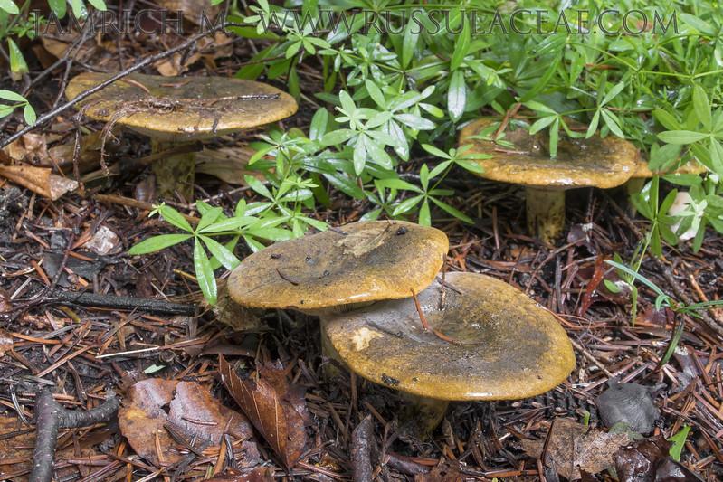Lactarius turpis - rýdzik odporný