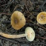 Lactarius obscuratus – rýdzik jelšový