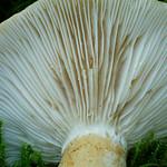 Lactarius olivinus - rýdzik šupinatý