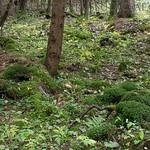 Lactarius olivinus - rýdzik šupinatý - BIOTOP