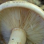 Lactarius pallidus - rýdzik bledý