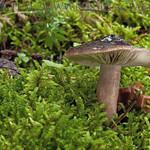 Lactarius picinus - rýdzik sadzový