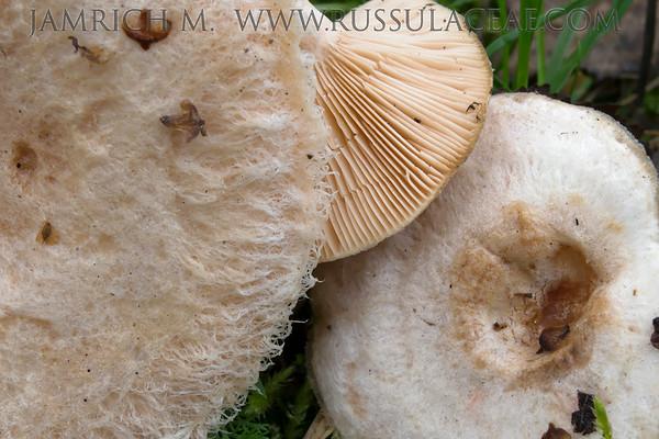 Lactarius pubescens - rýdzik chĺpkatý