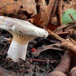 Lactarius pyrogalus – rýdzik lieskový