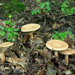 Lactarius quietus - rýdzik dubový