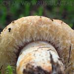 Lactarius repreasentaneus - rýdzik nádherný