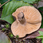 Lactarius romagnesii - rýdzik Romagnesiho