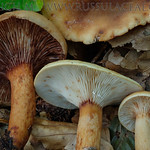 Lactarius rubrocinctus - rýdzik obrúčkatý
