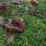 Lactarius rufus - rýdzik ryšavý