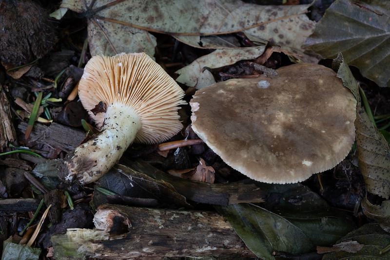 Lactarius ruginosus - rýdzik riedkolupeňový