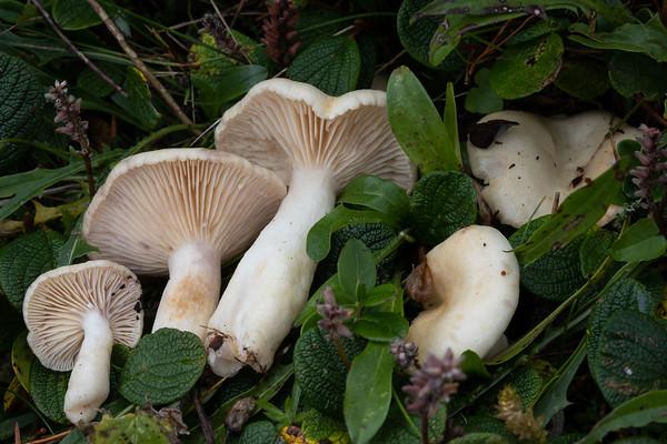 Lactarius salicis-reticulatae - rýdzik vrchovský