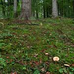 Lactarius salmonicolor - rýdzik jedľový