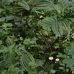 Lactarius scoticus - rýdzik škótsky