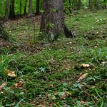 Lactarius scrobiculatus - rýdzik rapavý
