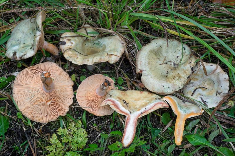 Lactarius semisanguifluus - rýdzik oranžovokrvavý