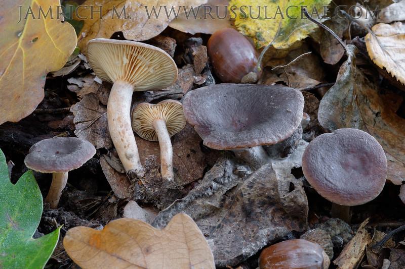 Lactarius serifluus - rýdzik vodnatý (syn. Lactraius subumbonatus - rýdzik plošticový)