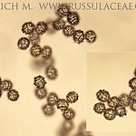 Lactarius sphagneti - rýdzik rašeliníkový