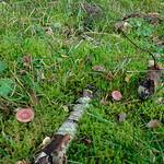 Lactarius spinosulus - rýdzik fialovoružový