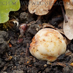 Lactarius stephensii - rýdzik Stephensov
