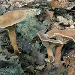 Lactarius subdulcis - rýdzik sladkastý