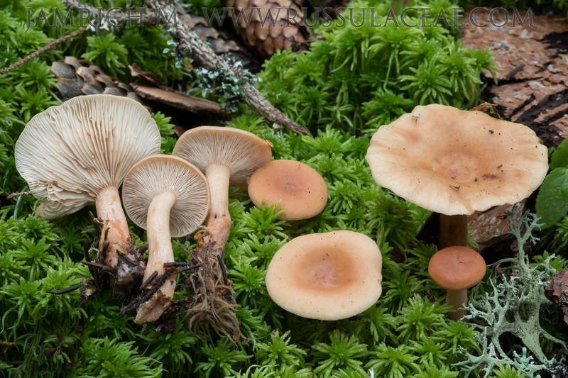 Lactarius tabidus - rýdzik matný