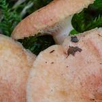 Lactarius torminosulus - rýdzik