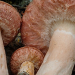 Lactarius torminosus - rýdzik kravský