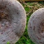 Lactarius trivialis – rýdzik severský