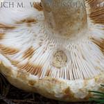 Lactarius tuomikoskii - rýdzik Tuomikoskiho