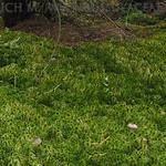 Lactarius uvidus - rýdzik vlhkomilný