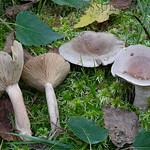 Lactarius vietus - rýdzik brezový
