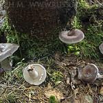 Lactarius vietus var. syringinus - rýdzik brezový