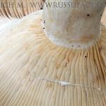 Lactarius zonarius - rýdzik pásikavý